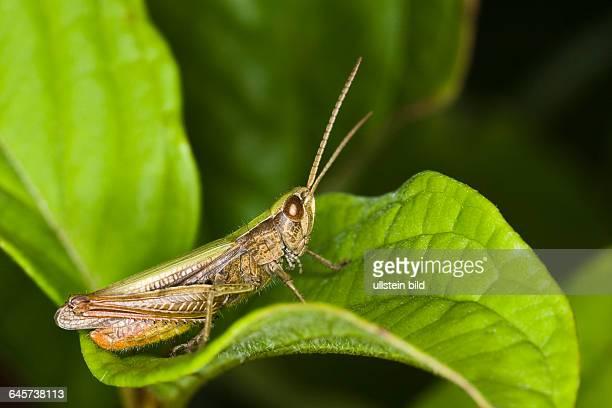 gemeiner Grash¸pfer meadow grasshopper