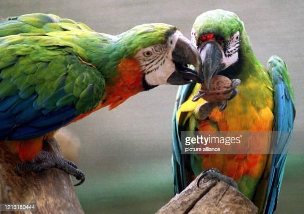 Gemeinsam bemühen sich zwei Aras am 8.10.1998 im Tierpark Gettorf um ihre Lieblingsspeise. Bevor die Nuß geknackt ist, ist vereintes Arbeiten...