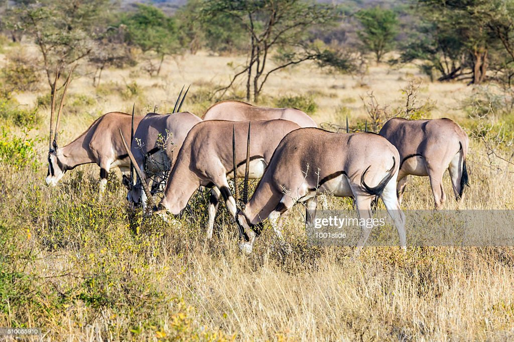 Gemsbok antelope : Stock Photo