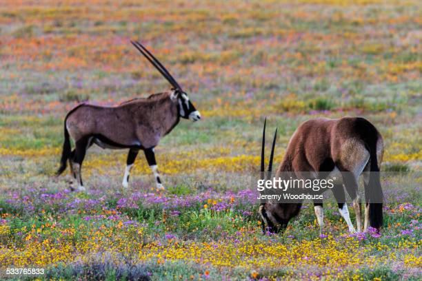 gemsbok grazing in field of flowers - ナマクワランド ストックフォトと画像