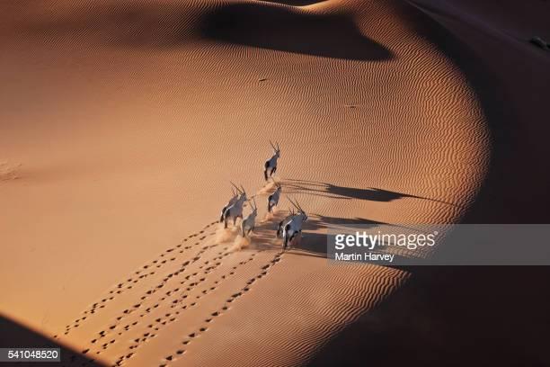 gemsbok herd running in the desert - gruppo di animali foto e immagini stock