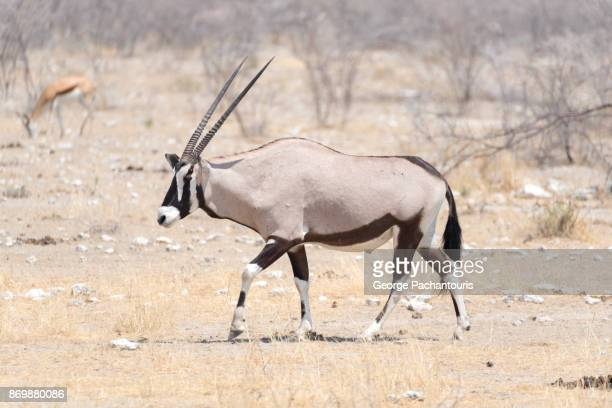 Gemsbok in Etosha national park, Namibia