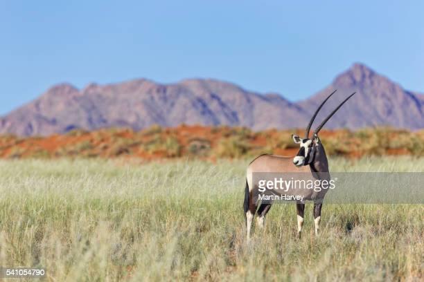 Gemsbok (Oryx gazella) in natural habitat.Namibia