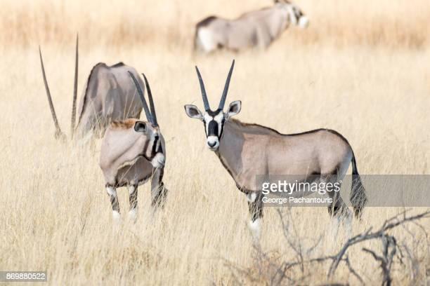 Gemsbok in the open plains