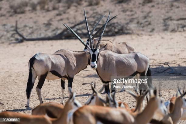 gemsbok, kgalagadi transfrontier park, south africa - franz aberham stock photos and pictures