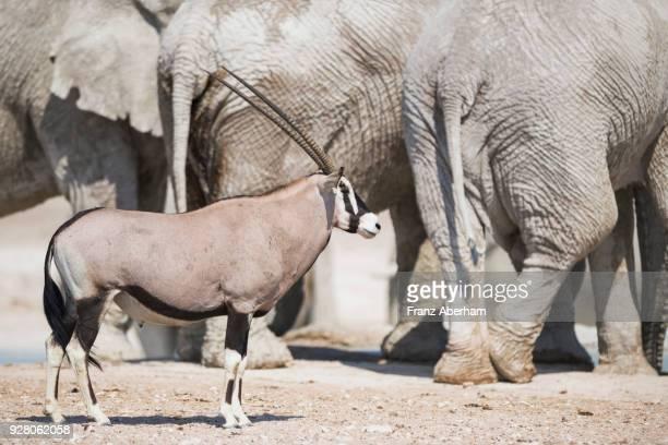 gemsbok next to elephants, etosha national park, namibia - franz aberham stock photos and pictures