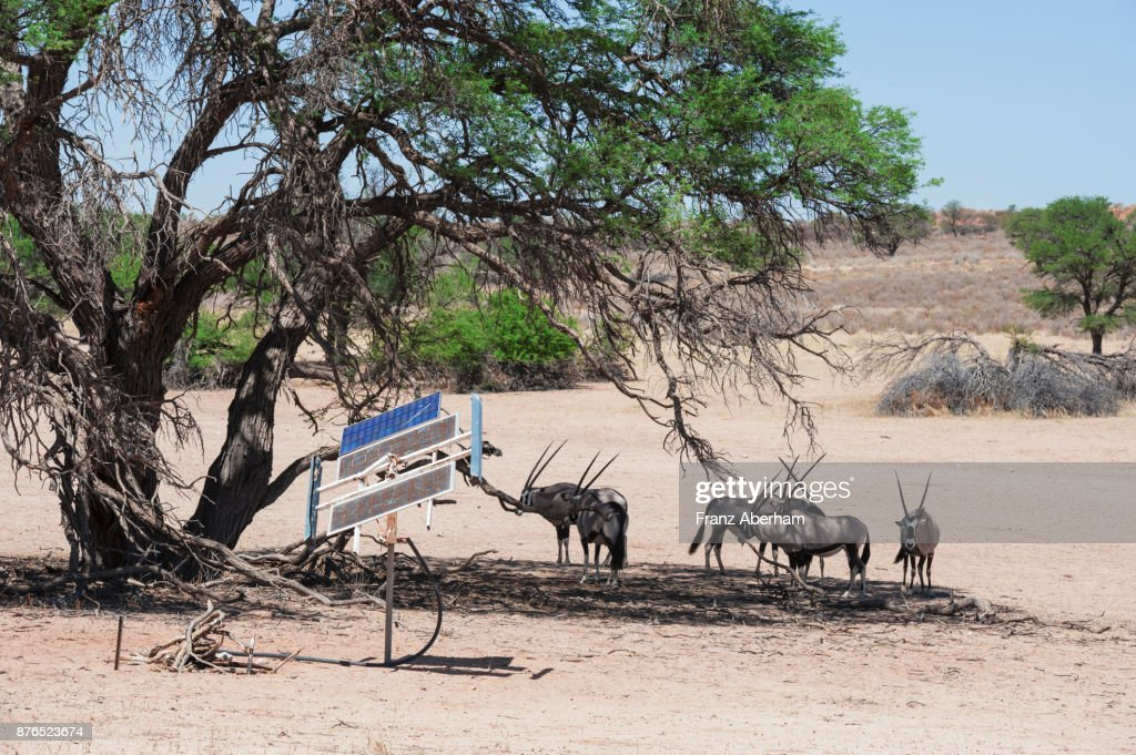Gemsbok (Oryx gazella) next to solar collectors, energy to pump water onto the surface, Kgalagadi Transfrontier Park, South Africa : Stock Photo