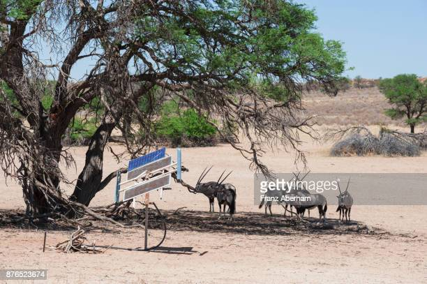 gemsbok (oryx gazella) next to solar collectors, energy to pump water onto the surface, kgalagadi transfrontier park, south africa - franz aberham foto e immagini stock