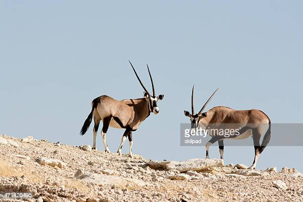 gemsbok en el horizonte
