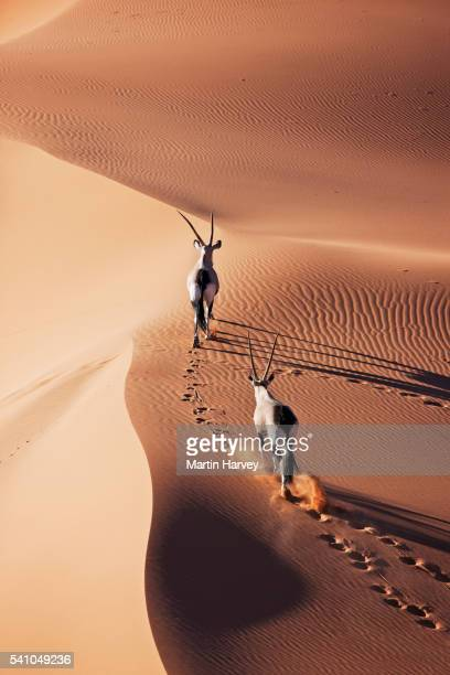 Gemsbok running over dune in the Namibian desert