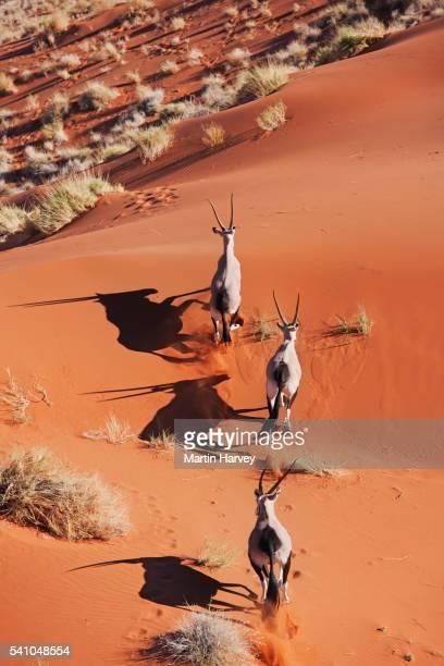 Gemsbok running over sand dune