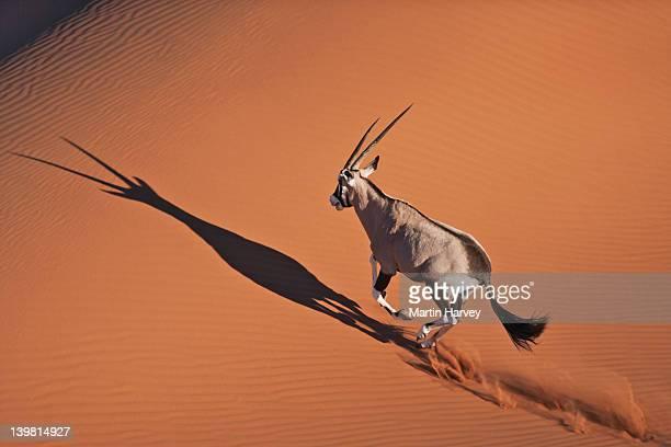 Gemsbok (Oryx gazella) walking in desert habitat, Namib desert, Namib-Naukluft National Park, Namibia, Africa