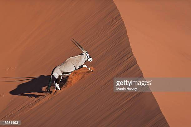 Gemsbok (Oryx gazella) walking up sand dune in desert habitat, Namib desert, Namib-Naukluft National Park, Namibia, Africa