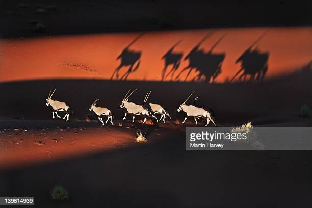 Gemsboks (Oryx gazella) In desert habitat, Namib-Naukluft National Park, Namibia, Africa