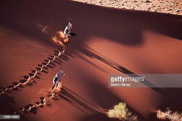 gemsboks (oryx gazella) on the move in desert habitat, namib desert, namib-naukluft national park, namibia, africa - namibia stock-fotos und bilder