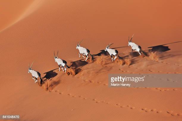 Gemsboks running over sand dune