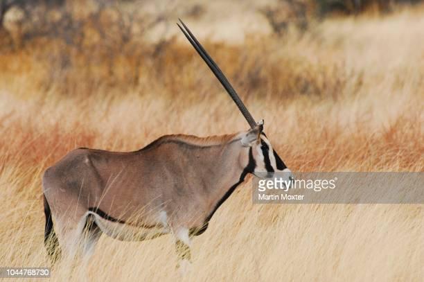 gemsbuck (oryx gazella), samburu national reserve, kenya - eastern african tribal culture stock photos and pictures