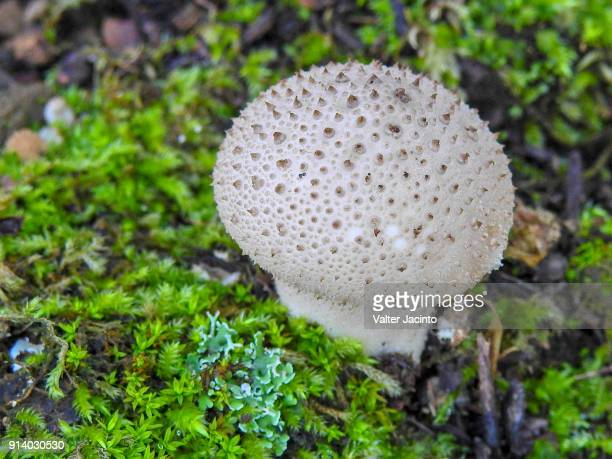 gem-studded puffball (lycoperdon perlatum) - seta pedo de lobo fotografías e imágenes de stock