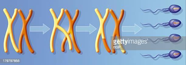 Gene Recombination, Crossing-Over Between The Homologous Chromosomes During Spermatogenesis Meiosis.