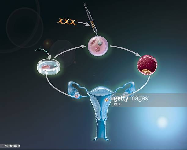 Gene Therapy Transfer The Embryo Resulting Is Then ReImplanted Into The Uterus Of The Mother