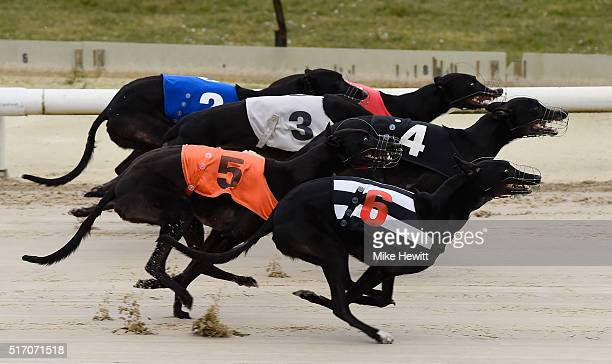 General action from the ninth race at Brighton and Hove Stadium on March 23 2016 in Brighton England
