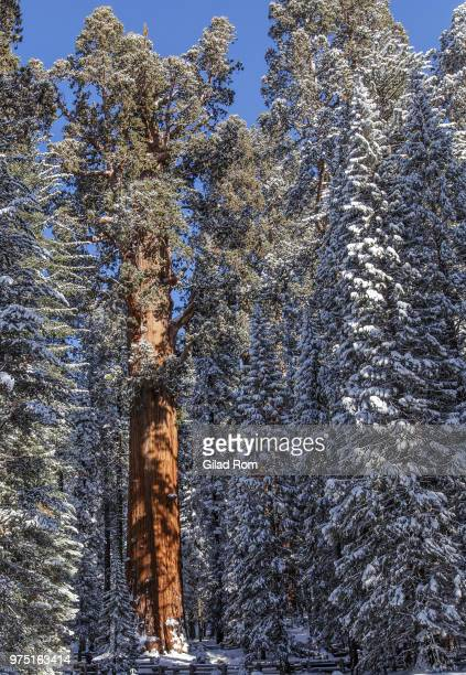 general sherman in winter, california, usa - general sherman stock photos and pictures