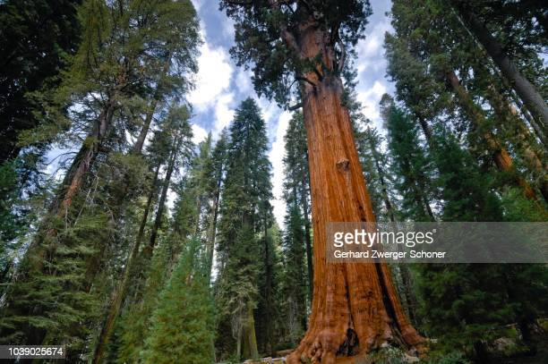 general sherman (275 ft or 83.8 m), the world's tallest giant sequoia (sequoiadendron giganteum), sequoia national park, california, usa - general sherman stock photos and pictures