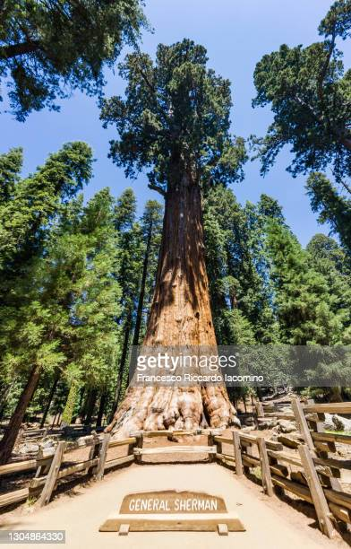 general sherman tree and forest at sequoia national park, california, usasequoia national park, california, usa - francesco riccardo iacomino united states foto e immagini stock