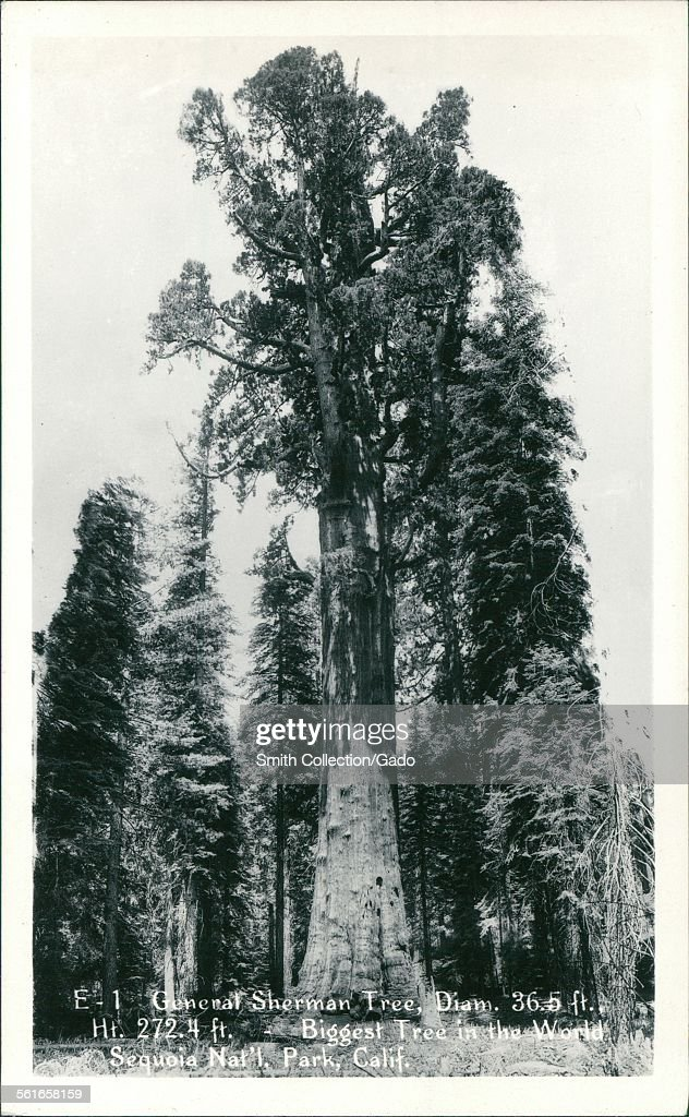General Sherman Tree, Biggest : News Photo