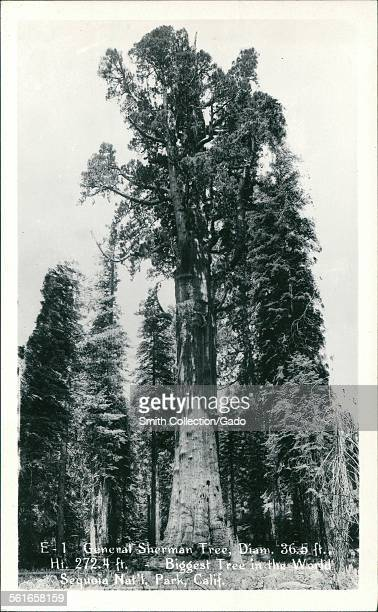 General Sherman Tree Biggest Tree in the World Sequoia National Park California 1926
