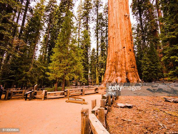 general sherman tree in the sequoia national forest - sequoia national forest stock photos and pictures