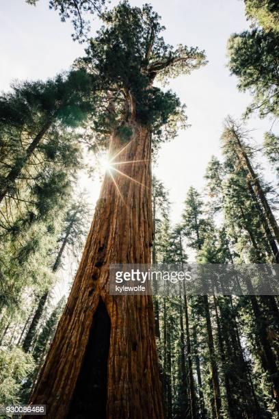 General Sherman Tree, Sequoia National Park, California, America, USA