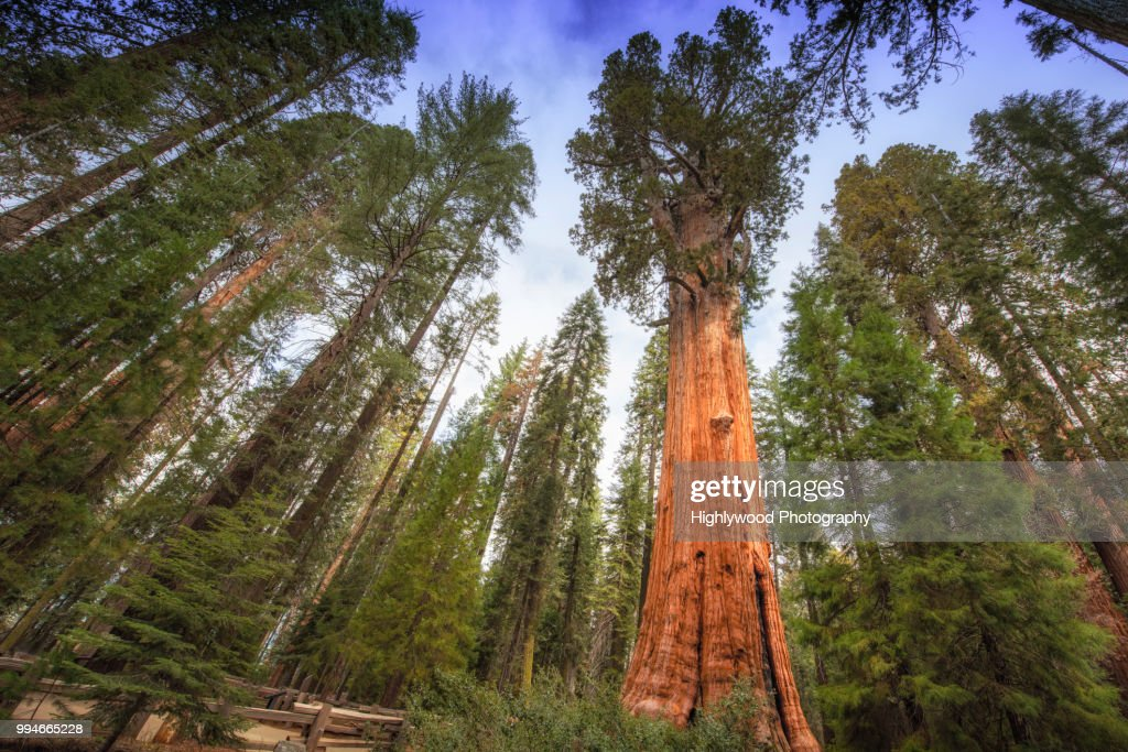 General Sherman Tree Towers Above : Stock Photo