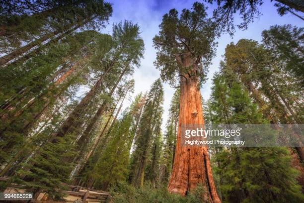general sherman tree towers above - highlywood stock pictures, royalty-free photos & images