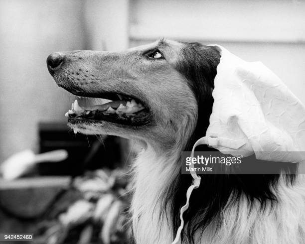 General view as a Collie dog is shown with a bonnet on it's head circa 1970's in Los Angeles California