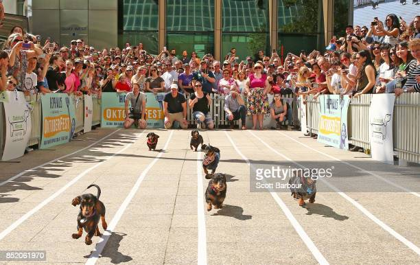 A general view as mini dachshunds run as they compete in the annual Teckelrennen Hophaus Dachshund Race on September 23 2017 in Melbourne Australia...