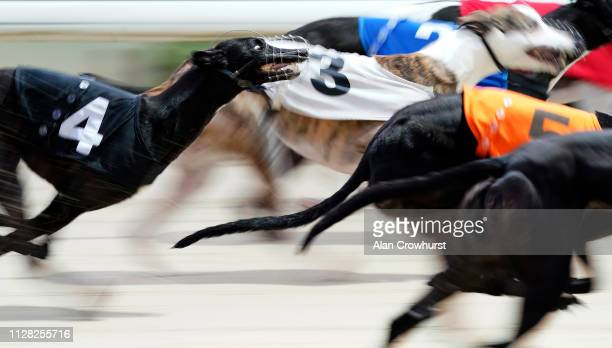 General view as trap 4 trails the field early in the race at Coral Brighton and Hove Greyhound Stadium on February 08, 2019 in Brighton, England.