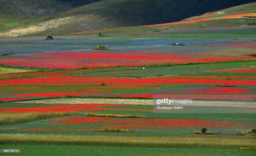 Annual Blossoming In Castelluccio Di Norcia : News Photo