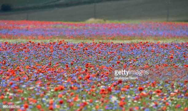 General view during the annual blossom in Castelluccio on July 10, 2018 in Castelluccio di Norcia near Perugia, Italy.
