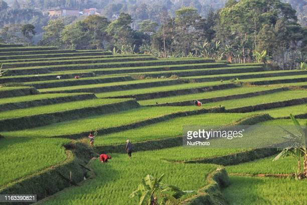 General view in the rice fields at Padi Resort, Pancawati, Bogor, West Java, on August 23, 2019.