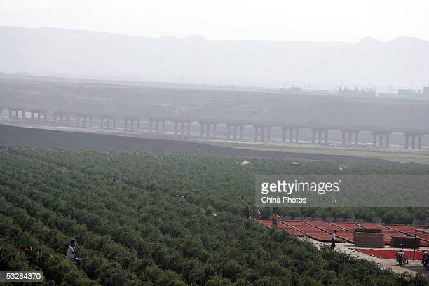 A general view of a medlar farm where farmers are picking and sunning medlars on July 24 2005 in Tongxin County of Ningxia Hui Autonomous Region...
