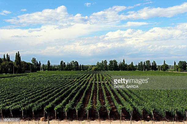 A general view of a vineyard in Lujan de Cuyo Mendoza Argentina where the soil is considered ideal for growing Malbec a grape variety used for red...