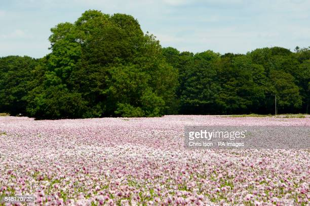 A general view of an agricultural poppy field in Dorset where the flowers are being grown for medicinal purposes to produce poppybased drugs such as...