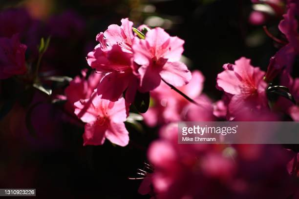 General view of Azalea flowers during a practice round prior to the Masters at Augusta National Golf Club on April 05, 2021 in Augusta, Georgia.