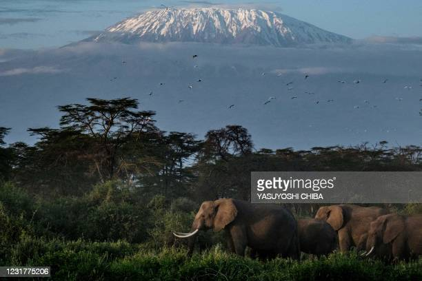 General view of elephants grazing with a view of the snow-capped Mount Kilimanjaro in the background at Kimana Sanctuary in Kimana, Kenya, on March...