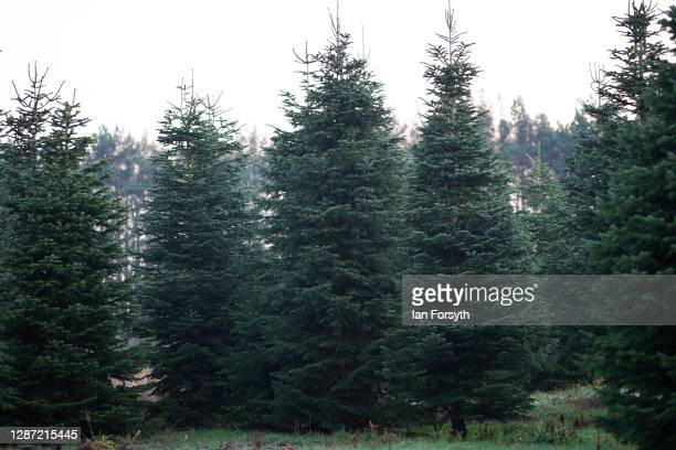 General view of fir trees at York Christmas Trees who this year been awarded the title of Christmas Tree Champion Grower of the Year which brings the...