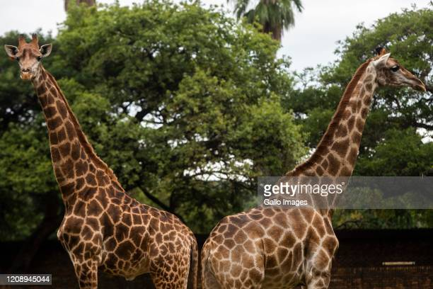General view of Giraffes being fed at The National Zoological Gardens of South Africa on Day Seven of National Lockdown on April 02, 2020 in...