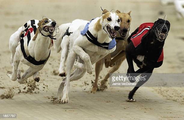 A general view of greyhounds in action during a race held on March 5 2003 at Hove in England