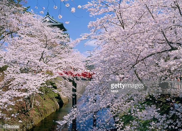 A general view of Hirosaki Castle and cherry blossoms on April 1 2009 Hirosaki Aomori Japan