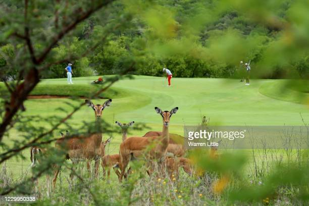 General View of Impalas by the 1st green during the third round of the South African Open at Gary Player CC on December 5, 2020 in Sun City, South...